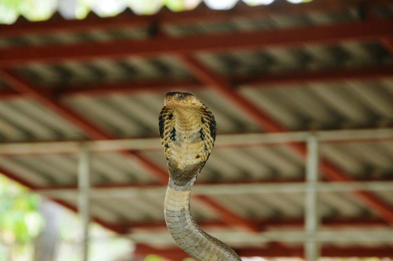 King cobra against ceiling