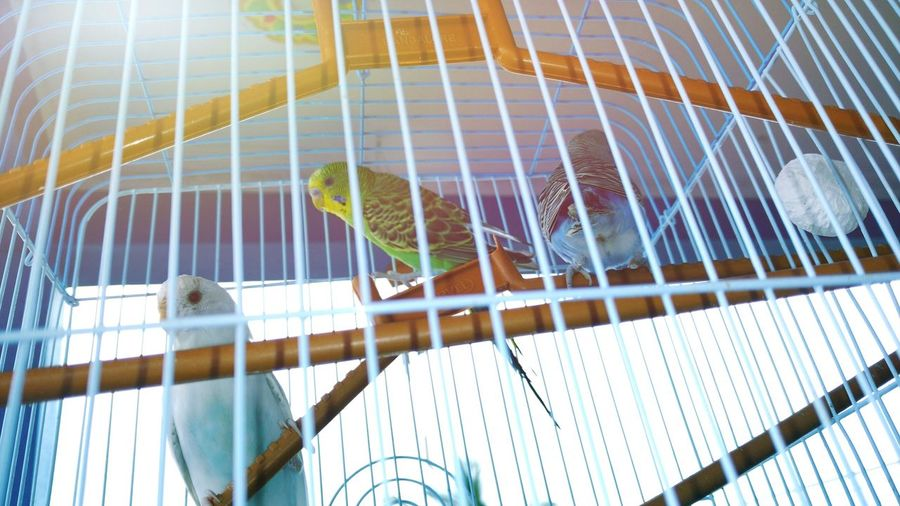 Low angle view of parakeets perching in cage