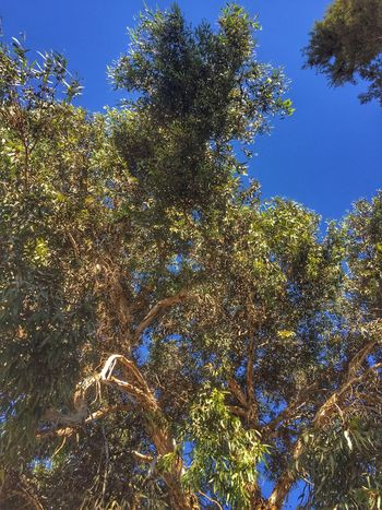 Tree Low Angle View Growth Nature No People Day Clear Sky Outdoors Beauty In Nature Branch Sky صفاقس شمس تونس Tunisia Tunisie Nature شجر شجرة Arbre