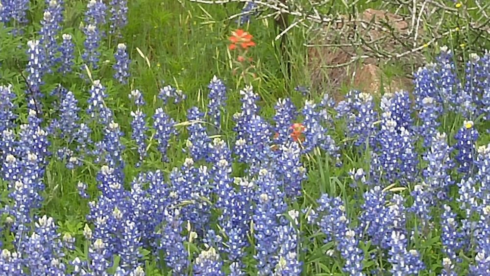 Backgrounds Beauty In Nature Blooming Bluebonnet Close-up Day Flower Flower Head Fragility Freshness Full Frame Grass Green Color Growth Nature No People Outdoors Plant Purple