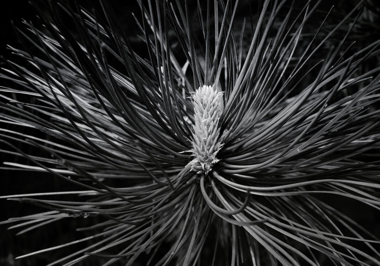 no people, full frame, close-up, growth, plant, night, nature, studio shot, needle, backgrounds, fragility, outdoors, beauty in nature, black background, flower, freshness