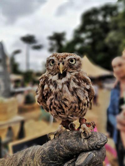 Baby Owl //
