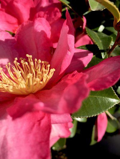 Camellia EyeEm