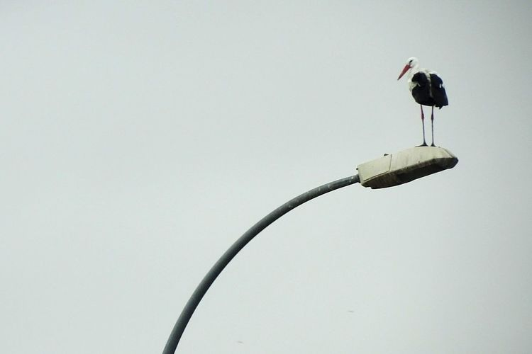 Stork. Ciconiidae Ciconia Ciconiiformes Streetlight Streetlamp Cigueña Stork Bird Animals In The Wild Animal Wildlife One Animal Animal Themes Day Full Length No People Perching Outdoors Nature Copy Space Clear Sky Low Angle View The Graphic City A New Perspective On Life