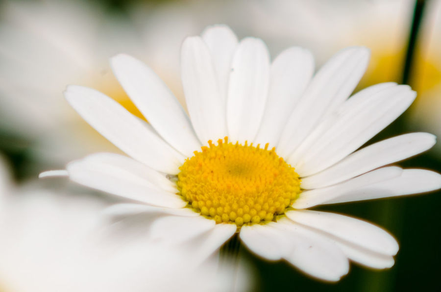 A daisy on summer day Beauty In Nature Blooming Close-up Day Flower Flower Head Fragility Freshness Growth Macro Nature No People Outdoors Petal Plant Pollen Spring Springtime Summer Summertime White White Color Yellow Paint The Town Yellow