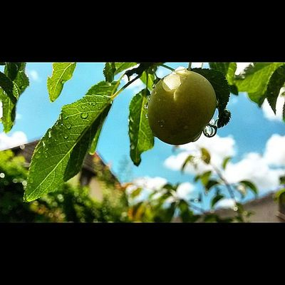 Hey summer Summer Fruit Garden Urban Nature Love Waterdrops Skyporn Lights Shadows Obuda Locsolás