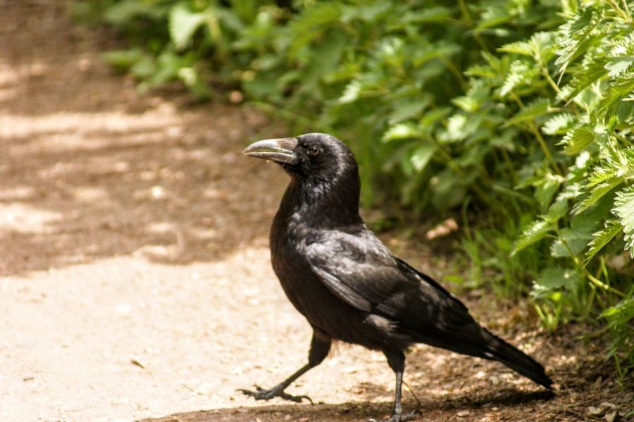 Animal Animal Themes Animal Wildlife Animals In The Wild Bird Black Color Crow Day Focus On Foreground Full Length Land Looking Looking Away Nature No People One Animal Outdoors Perching Plant Sunlight Vertebrate