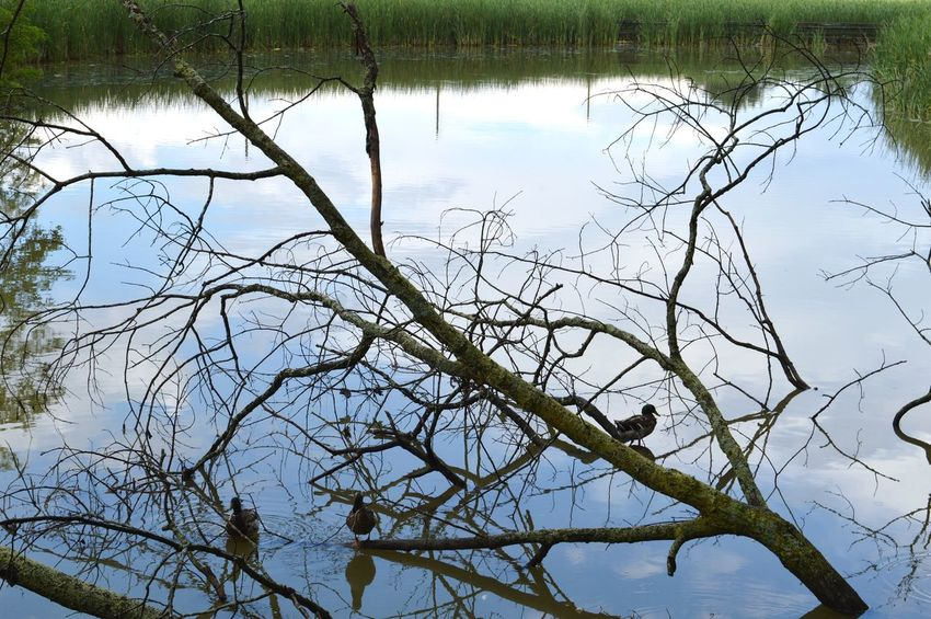 Reflections. With @juliaharris and @eye4invisible. Linde Shores Conservation Area Whitby. Reflection Water Lake Nature Beauty In Nature Tranquility Landscape Bird Scenics Branch Outdoors Tree EyeEm Meet Up 2017. Animals In The Wild Animal Themes Animal Wildlife