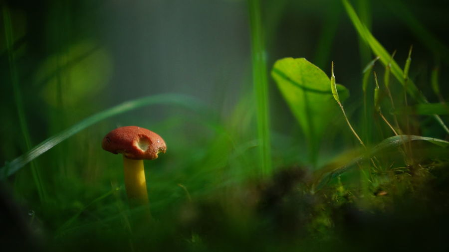 Beauty In Nature Blade Of Grass Brown Close-up Day Focus On Foreground Fragility Freshness Fungi Fungus Grass Green Green Color Growing Growth Mushroom Nature No People Plant Poppy Red Selective Focus Toadstool Tranquility