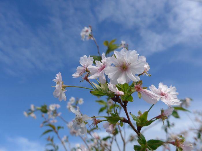 秋晴れの10月桜🌸 秋晴れ Autumnalis Prunus×subhitella 10月桜 Plant Flowering Plant Flower Freshness Fragility Beauty In Nature Growth