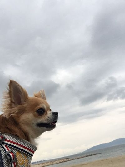 Sky Cloud - Sky Domestic Animals Animal Themes Dog Pets One Animal Mammal Weather Day Outdoors Nature Winter No People Beauty In Nature Niko Chihuahua Family