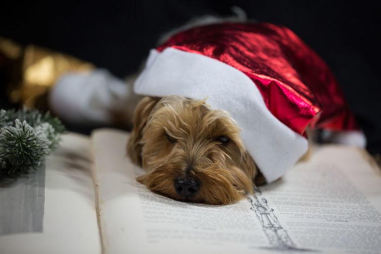 Christmas Dog Looking At Camera Mammal No People One Animal Pets Portrait