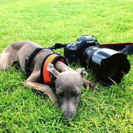 Dog Greyhound собака Israel Mstudio Tel Aviv Graice ливретка Итальянскийгрейхаунд фототуры