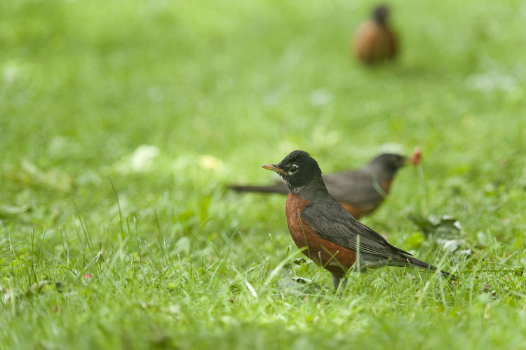 Multiple Robins look for food. Animal Themes Animal Wildlife Animals In The Wild Bird Bird Photography Birds Birds Of EyeEm  Day Depth Of Field Field Grass Green Color Nature Nature Photography Nature_perfection No People Outdoors Perching Robin Rule Of Thirds Selective Focus Three