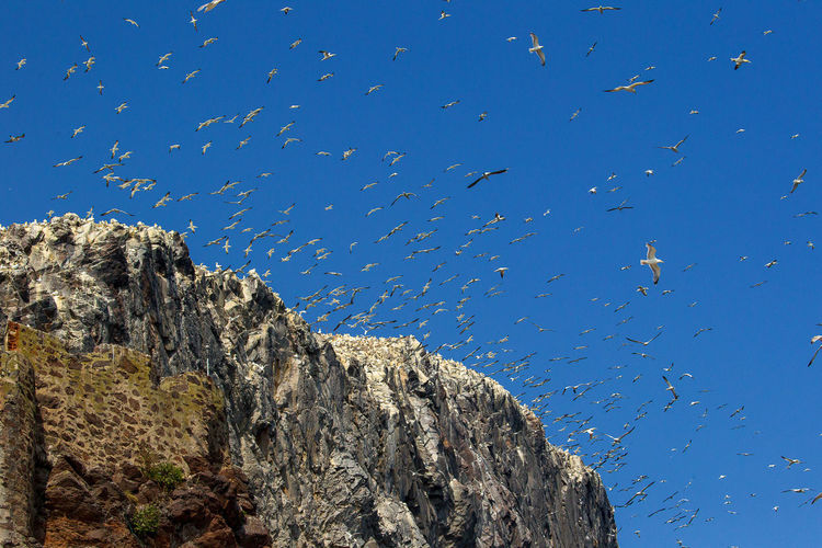 Low angle view of gannets flying by cliff against clear blue sky