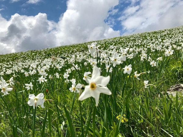 Daffodils Daffodil Flowering Plant Plant Flower Beauty In Nature Cloud - Sky Freshness Growth Fragility Vulnerability  Sky Land White Color Day Nature Petal No People Field Green Color Flower Head Tranquility