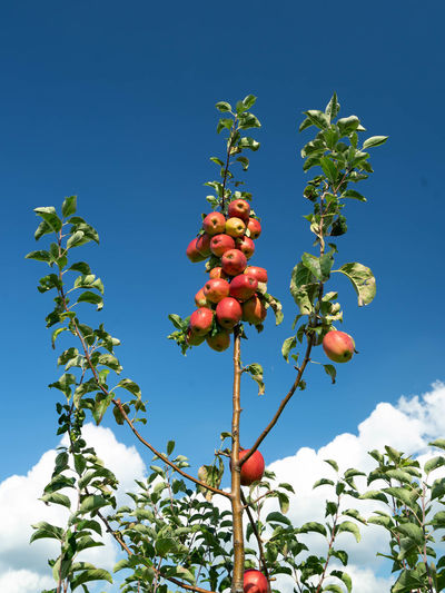 Low angle view of fruits on tree against blue sky