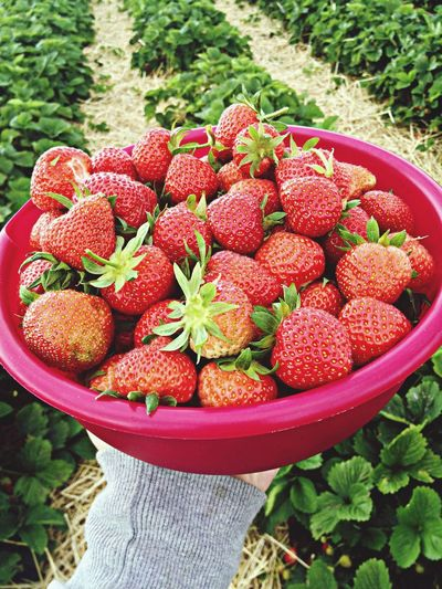 Close-up of hand holding tub with strawberries in field