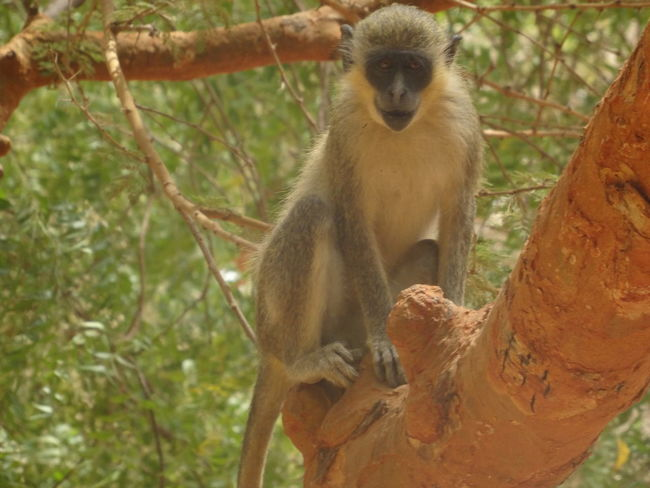 Bandia reserve African Safari Animal Themes Animal Wildlife Animals In The Wild Baboon Bandia Reserve Branch Day Mammal Monkey Nature No People Outdoors Primate Safari Sitting Tree Young Animal