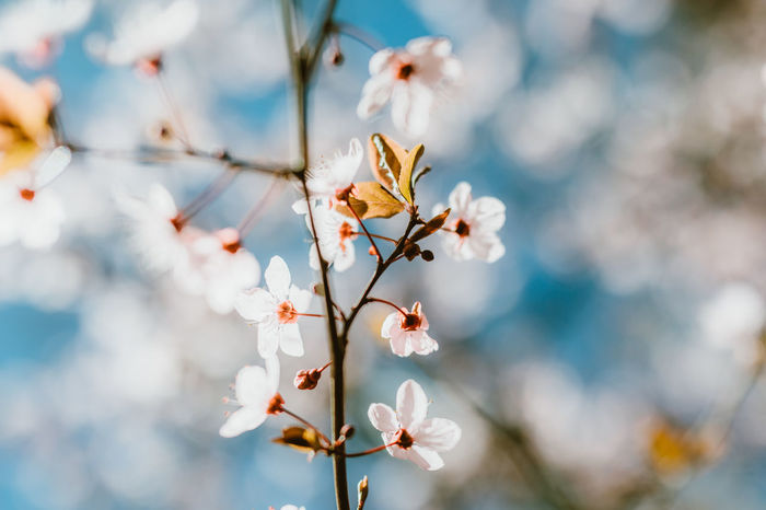 Beauty In Nature Blossom Branch Cherry Blossom Cherry Tree Close-up Day Flower Flower Head Flowering Plant Focus On Foreground Fragility Freshness Growth Nature No People Outdoors Petal Plant Pollen Springtime Tree Twig Vulnerability  White Color
