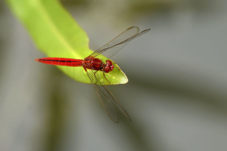 Close-up of red dragonfly on leaf