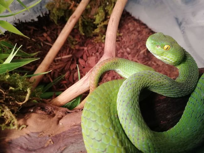 Trimeresurus macrops gravid female Venomous Venomous Snake Pitviper Reptile Close-up