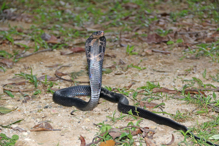 Cobra on field