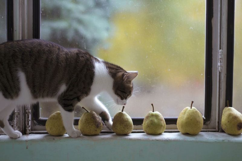 Walking Cat Autumn Colors Autumn Moments Pears Window View Windowlight Cat Lovers Fall Colors Fall Beauty Balcony View Cat Smelling Pears Pet Portraits