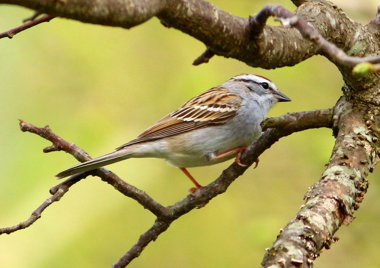 bird, animal themes, perching, one animal, animals in the wild, focus on foreground, branch, animal wildlife, tree, day, no people, twig, outdoors, nature, close-up, sparrow