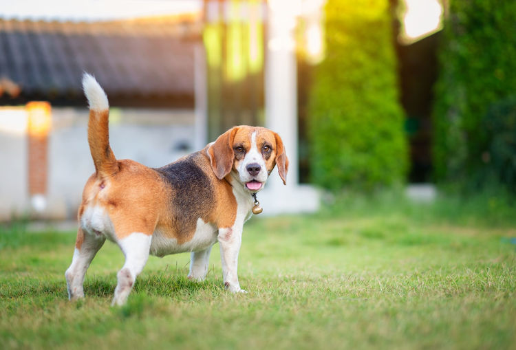 Beagle dog walking on the green grass Dog Canine Domestic Domestic Animals Animal Themes Mammal Pets One Animal Animal Grass Plant No People Selective Focus Standing Looking Nature Day Green Color Full Length Focus On Foreground