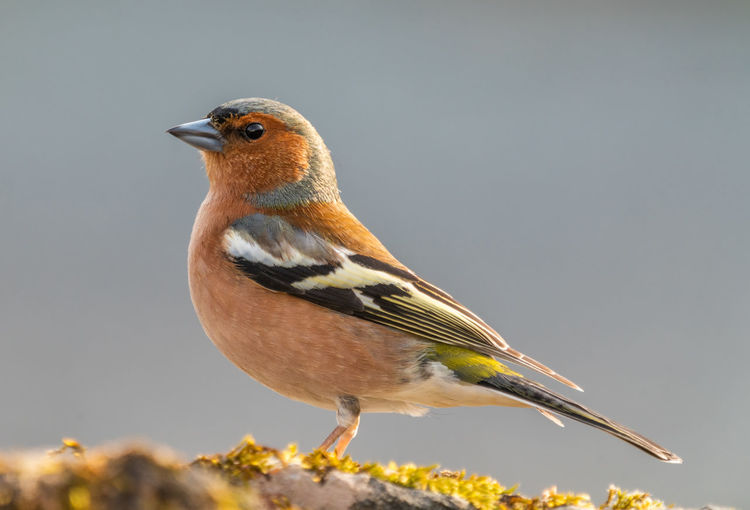 Chaffinch Bird Animal Themes Animals In The Wild Animal One Animal Close-up Day Side View No People Looking Nature Outdoors Selective Focus Full Length Chaffinch