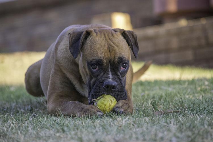 Portrait of dog relaxing on field