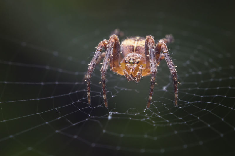 Arachnid Arthropod Spider Spider Web Animal Themes Animal Invertebrate Close-up One Animal Animals In The Wild Animal Wildlife Nature No People Focus On Foreground Web Araignée Orange Color Macro Macro Photography Outdoors