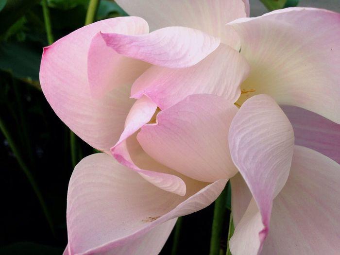 Lotus Lotus Flower