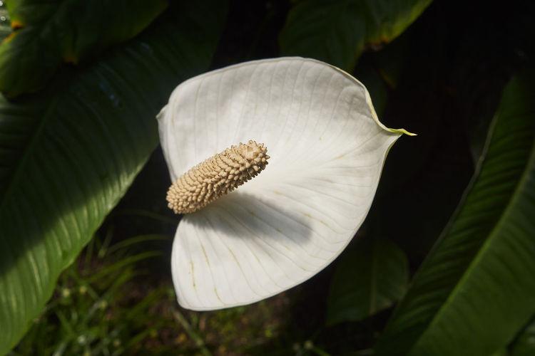 Close-up of white mushroom