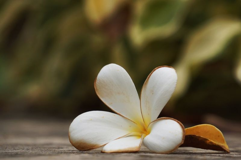 Close-Up Of Falling White Frangipani
