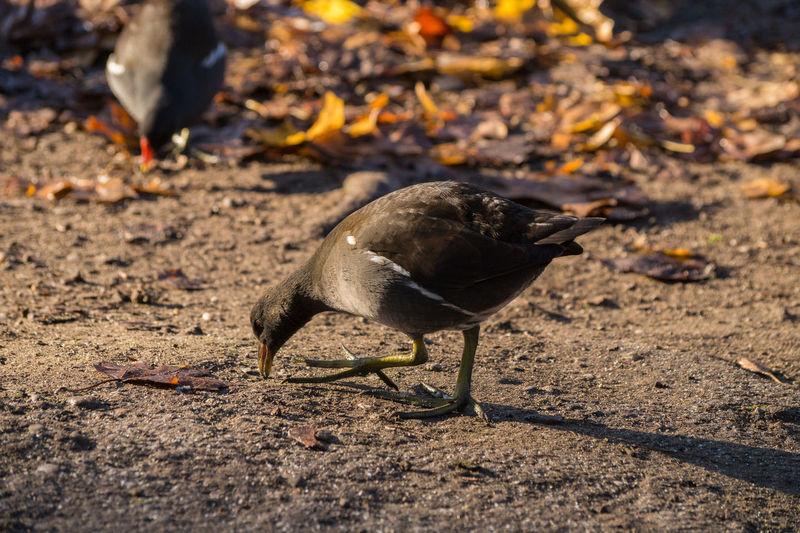 Bird pecking on field