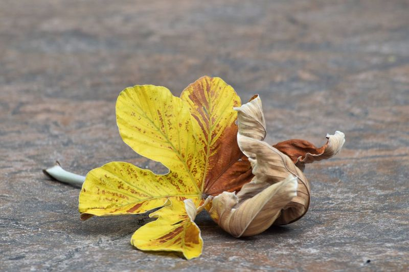 The drying process......... EyeEm Nature Lover Beauty In Nature Yellow And Brown Leaf Nature Close-up Focus On Foreground