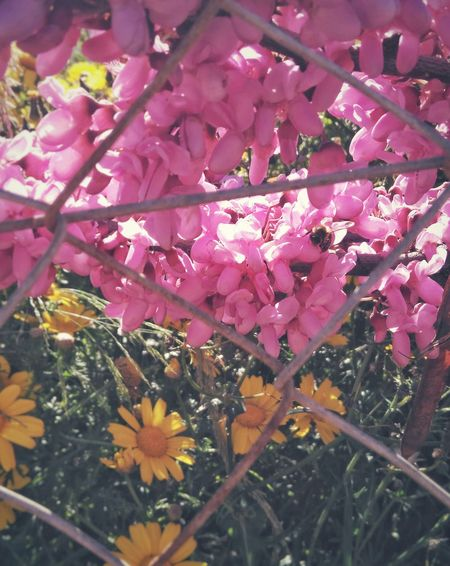 The Life of Spring behind the fence Cercis Siliquastrum Treeoflove Flowers Bee Springtime Pink Color Yellow Flower