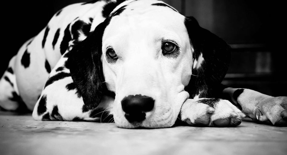 Close-Up Of Dalmatian Dog Resting On Floor At Home