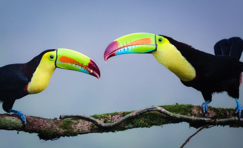 Midsection of two toucans facing each other