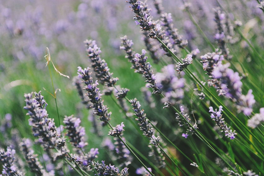 Lavender picking Flower Nature Growth Plant Fragility Purple Beauty In Nature No People Outdoors Close-up Freshness Day Flower Head