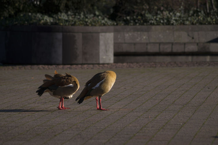 Animal Photography Beautiful Nature Beauty In Nature Bird Photography Capture The Moment City Goose Egyptian Goose From My Point Of View Goose Gooses Mother Nature Mothernature Nile Goose Showcase: February Urban Nature