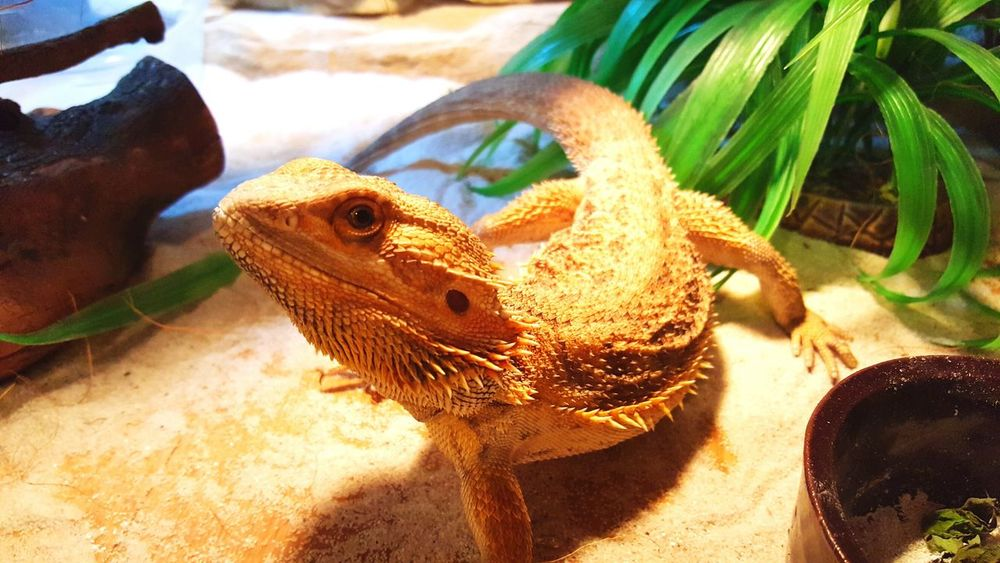 Agama Akwarium Kolega Zwierzątko Relaxing First Eyeem Photo
