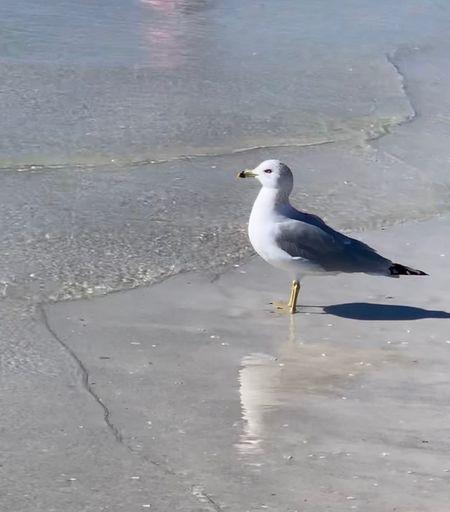 Animal Animal Themes Bird Vertebrate One Animal Animal Wildlife Animals In The Wild Water No People Sea Land Day Beach Perching Sea Bird Nature Beauty In Nature Seagull Reflection