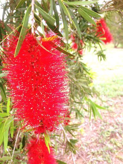 Bottle Brush Tree Bottle Brush Tree Flower Australia Red Nature