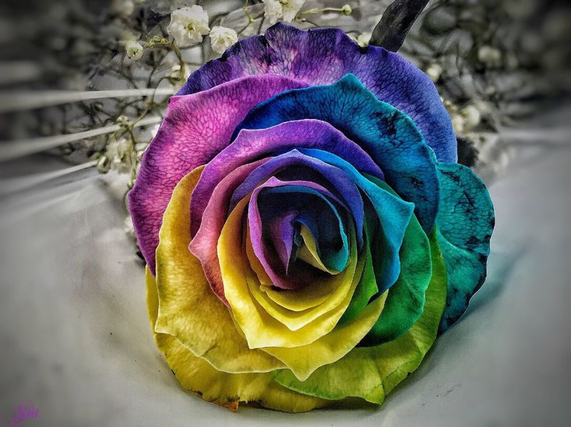 Wonderful weekend my friends🌹 Hello World Beautiful Tie Dye Rose🌹 Roses Flower Collection Flowers Colors Flores Love Beauty Beauty In Nature Popular Photos Eye4photography  Capture The Moment EyeEm EyeEm Gallery EyeEm Best Shots No People My Flower Obsession OpenEdit Flowerporn Montreal, Canada February 2016 Check This Out