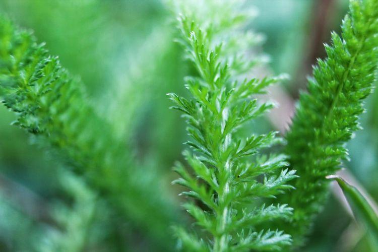 Herbal Medicine Medical Cannabis Greenhouse Cannabis Plant Marijuana - Herbal Cannabis Herb Leaf Alternative Medicine Healthcare And Medicine Close-up