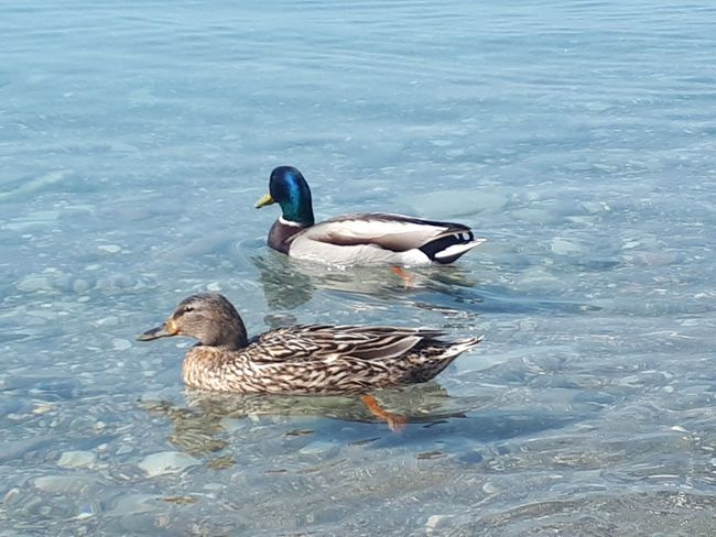 ❤ happy lovers couple! Swimming In The Sea Swimming In The Ocean Floating In Water Duck In The Water Sea Ducks Ducks At The Beach Bird Water Swimming Mandarin Duck Water Bird Duck Female Animal Mallard Duck Floating In Water Animal Family Young Animal Male Animal Young Bird