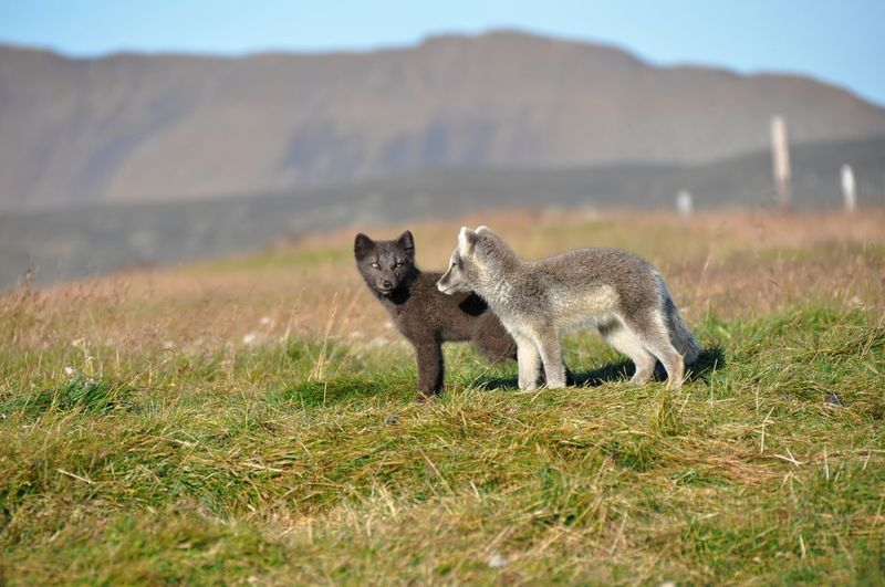 Fox standing on field